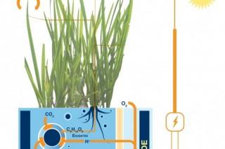 Голландські вчені навчилися видобувати електрику з рису